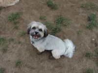 Havanese Dogs With Huxley